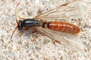 farmapest kanatlı karınca resimleri ile ilgili görsel sonucu